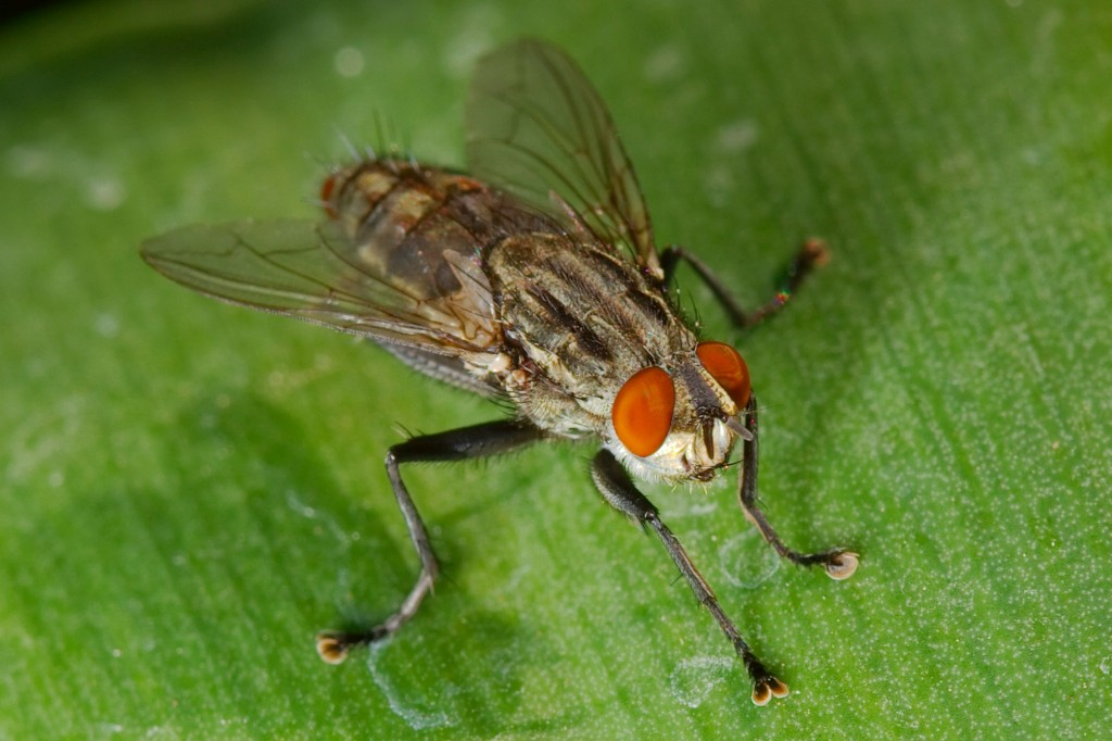 Sarcophagid_fly_macro
